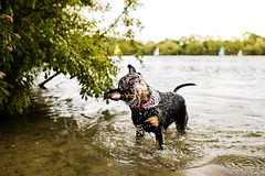 Shake it off (Paulo Images) Tags: rottweiler pet wet lake pauloimages