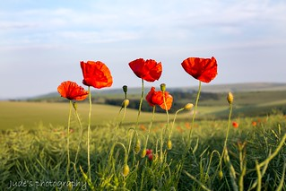 Just love poppies ❤️