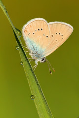 The pearly butterfly collection, vol. 3 (Xenofon Levadiotis) Tags: animal insect butterfly farfalla έντομο λουλούδι πεταλούδα ζούδια spring άνοιξη ef is usm macro μάκρο flower padhes pades πάδεσ λξ σμόλικασ αώοσ τύμφη πίνδοσ smolikas aoos pindus pindos timfi tymphe cyaniris semiargus polyommatus mazarine blue insecta lepidoptera lycaenidae schmetterling mariposa бабочка borboleta vlinder лептир papillon motyl κρύα σπηλιά πεταλούδεσ τησ ελλάδασ butterflies greece greek outdoor πεταλούδεστησελλάδασ sigma mazarineblue cyanirissemiargus