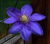 Clematis - Marilyn's Flower Garden (danjdavis) Tags: clematis flower purpleflower marilynsflowergarden