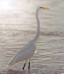 Great Egret (Pragmatic1111) Tags: egret greategret nikon d850 400mmf28g lake nature bird water backlight backlit wet