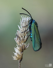 Capa Dorada (JoseQ.) Tags: macro macrofotografia bicho insecto animal alas mariposa zygaena azul dorada volar