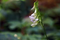 Õitseb (Jaan Keinaste) Tags: olympussh1 eesti estonia loodus nature õisik taim plant