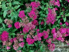 Bautiful in PINK (RenateEurope) Tags: flora flowers pink germany rheinland iphoneography renateeurope awesomeblossoms