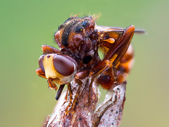 Thick headed fly (Sicus ferrugineus) (-denju-) Tags: olympusem10mkii olympus60mm28 raynoxdcr250 tripod focusbracketing focusbkt naturallight heliconfocus lightroom gimp photomacrography focusstacking focusstack makro macro insect insekt morgen blasenkopffliege breitstirnblasenkopffliege fliege