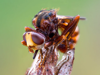 Thick headed fly (Sicus ferrugineus)