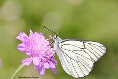 """Papillon """"Gazé"""" (Dominique Dufour) Tags: gazé papillongazé insecte nature macrophoto bokeh fleurs fujis5pro fuji dominiquedufourphoto dominiquedufourphotos dominiquedufourflickr proxiphoto butterflies pro"""