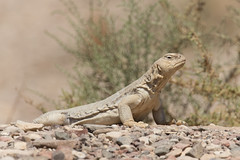 (Explore) Egyptian spiny-tailed lizard (Uromastyx aegyptia) (Ron Winkler nature) Tags: egyptian spinytailed lizard uromastyxaegyptia uromastyx aegyptia lizards reptilia reptile reptiles herping herpetology israel asia canon 100400ii macro animal wildlife nature 7dii