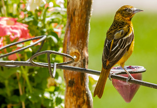 Very young immature Baltimore Oriole