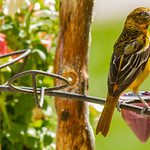 Very young immature Baltimore Oriole thumbnail