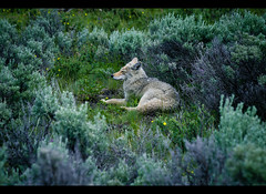 (ani_ghost) Tags: yellowstone coyote wildlife nature canon eos 6d forest woods animal mammal