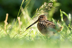 common snipe - gallinago gallinago (carlanthonytaylor) Tags: bird birds commonsnipe canon nature ngc wildlife wild staffordshire eccleshall