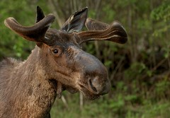 Bull moose close up (Guy Lichter Photography - 4.2M views Thank you) Tags: male bull moose animals animal mammals mammal wildlife rmnp manitoba canada 5d3 canon