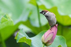 Eurasian Tree Sparrow atop Lotus flower bud (雀舞荷苞) (Minder Cheng) Tags: flower plant eurasiantreesparrow lotus taipeibotanicalgarden taipei taipeicity taiwan tw