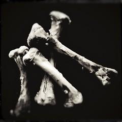 Bone (study)-12511 (Poetic Medium) Tags: square skeleton stilllife blackandwhite kitcamghostbird chicken snapseed ipod bones food