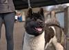 Akita (Scott 97006) Tags: dog canine animal cute eyes alert watching furry