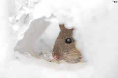 ''Mini-mouse!'' Souris commune-Mousse (pascaleforest) Tags: animal souris mouse wild wildlife faune québec canada neige snow