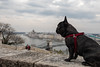 Elvis is protecting the Hungarian Parliament (Áron Sebestyén) Tags: bulldog dog hungary architecture minimal modern doggo elvis frenchie budapest buda building old cute adorable flickr spring sky clouds river duna