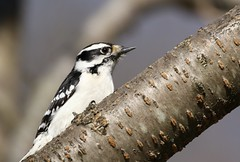 Downy (Diane Marshman) Tags: downy woodpecker female adult mature black face stripes head wings white chest breast spots small bird spring northeast pa pennsylvania nature wildlife