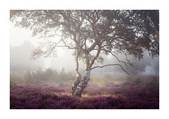 Westleton Heath 27 August 2017 (Matthew Dartford) Tags: eastanglia matthewdartford atmospheric backlight backlit bokeh breakinglight depth dunwich england fog foggy forest glow goldenhour heath heather landscape mist misty morning morninglight norfolk silhouette suffolk sunrise tree trees westleton woodland woods