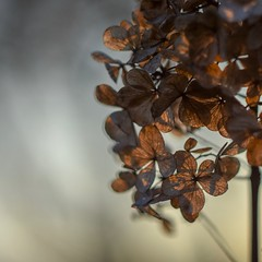 Hydrangea in the April light. (agnieszka.a.morawska) Tags: beyondbokeh bkhq bokehlicious bokeh helios44m helios flower hydrangea