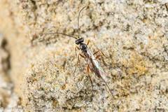 Ichneumon Wasp (Tubs McHam) Tags: dof matthewpaullewis ichneumon wasp mpe65 yongnuoyn24ex yn24ex canon canon6d small tubsmcham hymenoptera macro limpsfield ichneumonidae insect nature stpeterschurch yongnuo