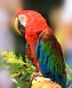 Red-and-green macaw (kvl23) Tags: bird nature parrot color multicolored arachloroptera ara redandgreenmacaw greenwingedmacaw арарауна попугай