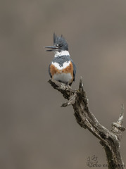 Female Belted Kingfisher. (Estrada77) Tags: beltedkingfisher foxriver wildlife nikond500200500mm outdoors fish spring2018 april2018 perched