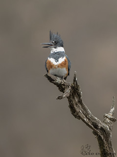Female Belted Kingfisher.