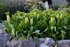 Эвкомис осенний, Eucomis autumnalis, Pineapple Flower (Oleg Nomad) Tags: африка юар кейптаун кирстенбош ботаническийсад растения цветы протея africa capetown kirstenbosh botanicalgarden vegetation flowers protea travel
