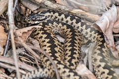 Adder (Tim Melling) Tags: vipera berus adder viper south yorkshire timmelling