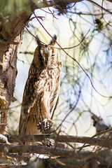 Hibou moyen-duc - Asio otus - Long eared  owl (TESS4756) Tags: 2018 faune faunedespagne hiboumoyenduc oiseaux rapaces strigidés strigiformes thérèseb