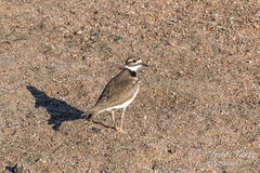 Killdeer hanging out on the river