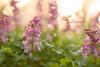 20180804 holwortel paars (patrickbrouwer73) Tags: holwortel paars bokeh lente voorjaar zonsopkomst