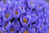 dreamwalking ... (elena.voroniouk) Tags: fantasy video many violet crocus beauty spring latopictures cooperation