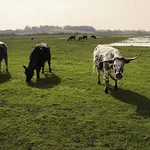 English Longhorns thumbnail