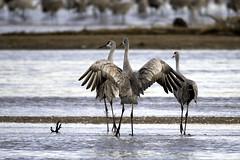 Sandhill Cranes (aurospio) Tags: nebraska bird crane sandhillcrane platteriver cranetrust gruscanadensis