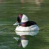 Bufflehead (Ed Sivon) Tags: america canon nature lasvegas wildlife wild western water white southwest desert duck clarkcounty vegas bird nevada