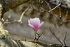 Magnolie (Sockenhummel) Tags: groszieten grosziethen magnolie magnolienblüte blossom magnolia bokeh single fuji xt10 äste zweige april