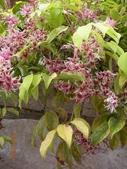 ** Saint-Paul-de-Vence...le lumineux...** #13 (Impatience_1(retour progressif)) Tags: fleur flower saintpauldevence provence alpesmaritimes provencealpescôtedazur france impatience wonderfulworldofflowers saveearth supershot coth coth5 stauntoniahexaphylla lardizabalaceae sunrays5 alittlebeauty abigfave