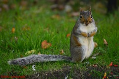The Squirrel (Aïchaz Photography) Tags: wildlife squirrel parks animals nuts