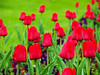 Red Tulips (JuliSonne) Tags: tulips red love buds spring nature
