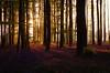 Bois de Hal_IGP6615_s (INABA Tomoaki) Tags: belgium belgië belgique belgien ベルギー hallerbos bois de hal ハルの森 bluebell ブルーベル outdoor plant flower landscape forest