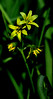 Yellow Star of Bethlehem Gagea lutea (Joan's Pics 2012) Tags: yellowstarofbethlehem tiny hidden undersnowdrops starlike wildflowers wildplaces riversedge cumbria green explore