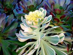 Succulent Blossom (Bennilover) Tags: plants california hardy blossoms succulent succulents