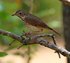 A sweet bird (Dianne M.) Tags: hermitthrush nature outside bird backyard spots florida ngc