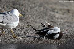 長尾鴨 / Long-tailed Duck (阿棋 Looking@Nature) Tags: 長尾鴨 longtailedduck clangulahyemalis