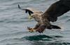 The snatch! (Gowild@freeuk.com) Tags: eagle whitetailedeagle seaeagle mull isleofmull ladyjayne mullcharters bird birdofprey talons adult juvenile wild wildlife nature british uk scotland sea coast loch lochnakeal andrewmarshall nikon d850
