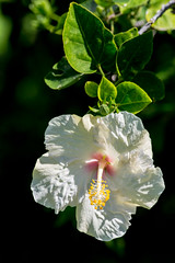 White Hibiscus, Kauai, Hawai'i, USA (takasphoto.com) Tags: 80400mmf4556dvr afvrzoomnikkor80400mmf4556ded america angiosperms arena beach blanc blanco bloom blossom blüte bãibiển coast coastal cobblestones color d610 eeuu estadosunidos eudicots flor flower floweringplant fullframe grava gravel greenplants hawaii hibisceae hibiscos hibiscus hoa island kauai kauaʻi kingdomplantae landform lens malvaceae malvales malvoideae mar mare mer nature nikkor nikkor80400mm nikkor80400mmf4556dafvred nikkorlens nikon nikond610 northamerica ocean oceansea oceanea oceano outdoor pacific pacificocean pebbles plage plantae playa plaża poipubeach poipubeachpark polynesia