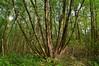 Polyaxial Alnus glutinosa (МирославСтаменов) Tags: russia moscowregion polyaxial trunk tree alnus crown alder forest